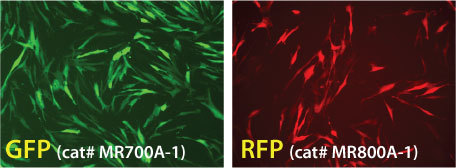 Strong GFP and RFP expression after transfection with mRNAs made with the mRNAExpress Vector mRNA Synthesis Kit
