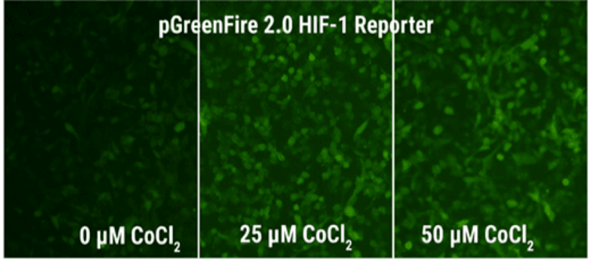 pGreenFire 2.0 - signalling pathway reporters re-engineered for reliable stable cell line generation