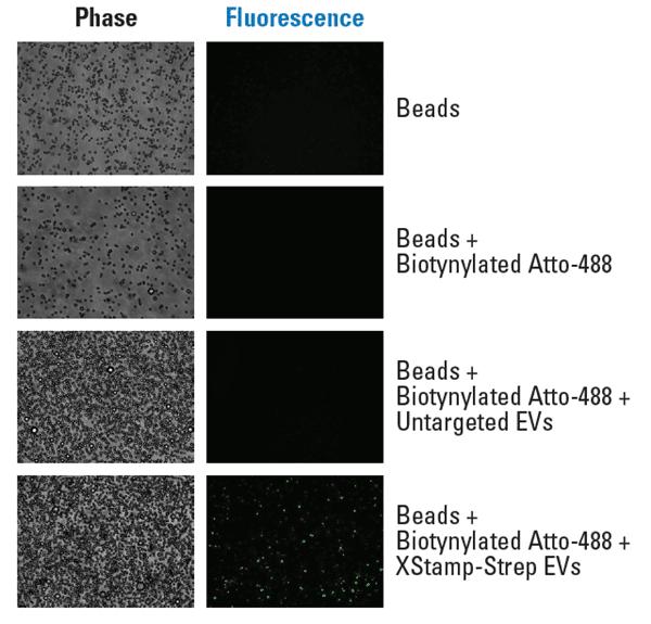 EVs engineered using XStamp Pro Streptavidin efficiently bind a biotinylated target