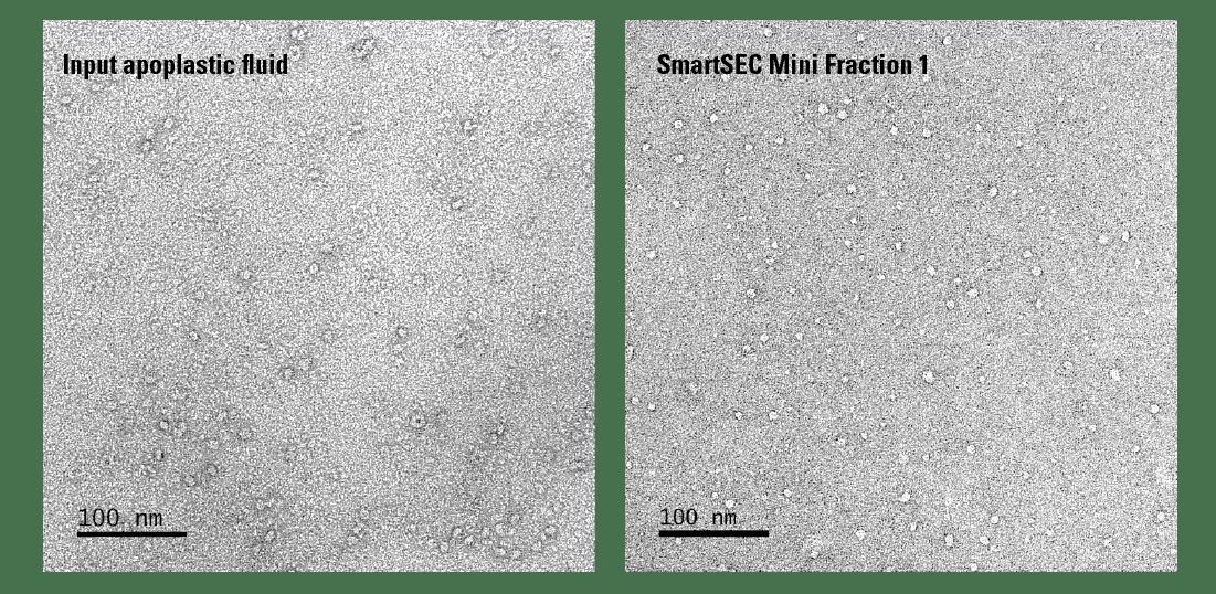 SmartSEC Mini provides robust isolation of EVs from 50 µL of apoplastic fluid from Arabidopsis thaliana.
