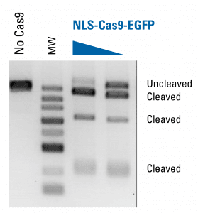 NLS-Cas9-EGFP protein is functional in an in vitro assay