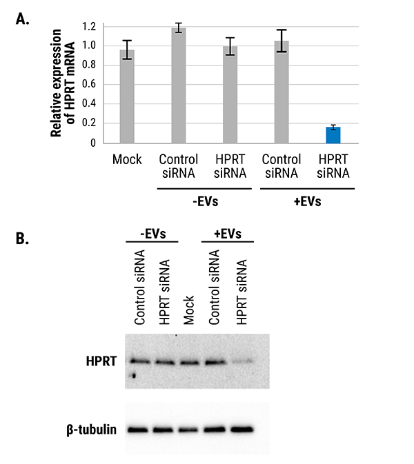 EVs loaded with siRNA using Exo-Fect siRNA/miRNA reagent are functional