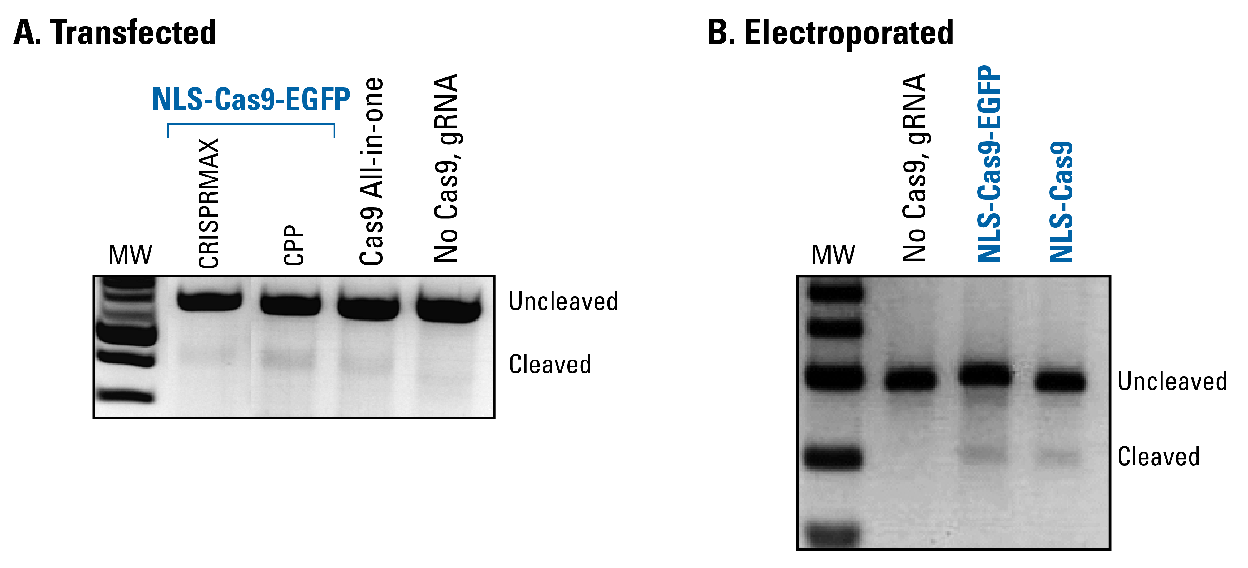 NLS-Cas9-EGFP protein is functional in an in vivo assay