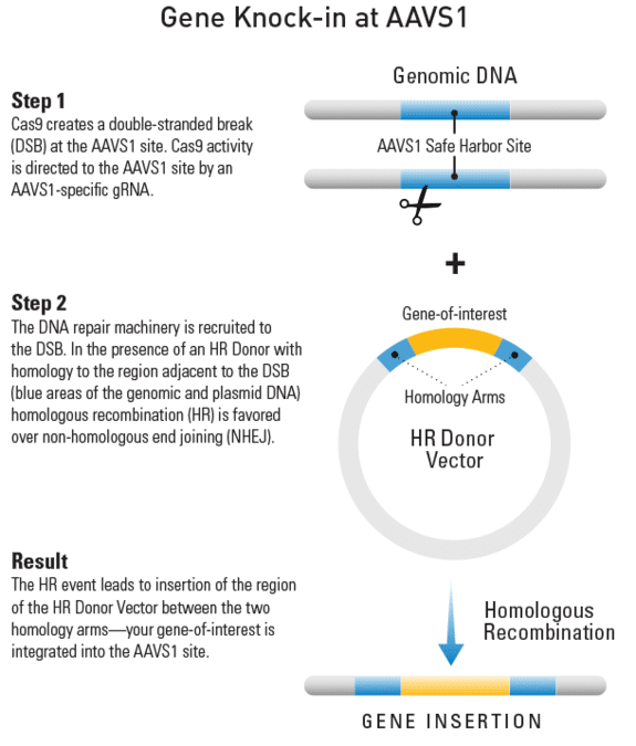 Knocking-in a gene at the AAVS1 site using an HR Targeting Vector