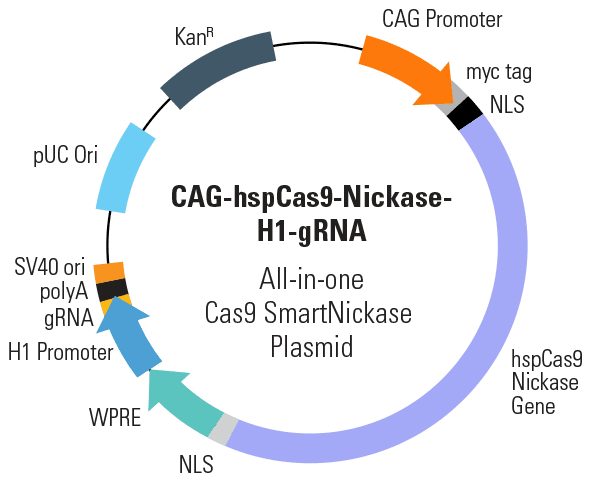CAG-hspCas9-nickase-H1-gRNA All-in-one Cas9 SmartNickase Plasmid (circular)