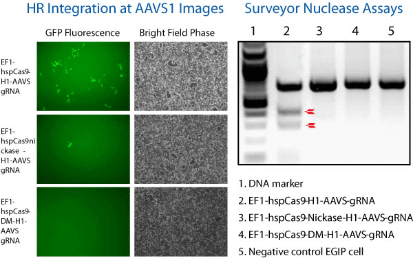 The All-in-one Cas9 SmartNickase Vector shows genome editing activity