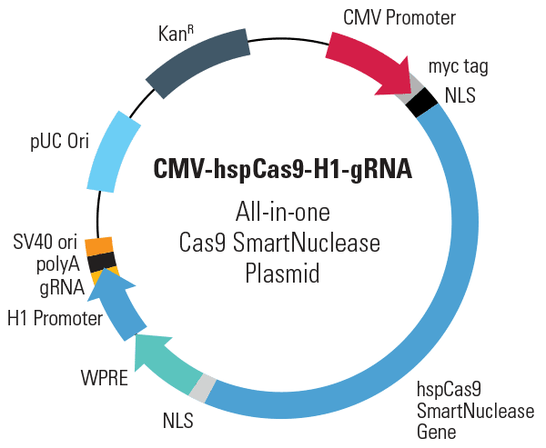 CMV-hspCas9-H1-gRNA All-in-one Cas9 SmartNuclease Plasmid (circular)