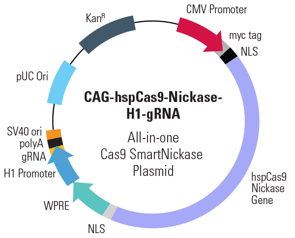 CMV-hspCas9-nickase-H1-gRNA All-in-one Cas9 SmartNickase Plasmid (circular)