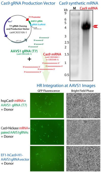 Cas9 SmartNuclease mRNA is used to knock-in GFP to the AAVS1 Safe Harbor Site