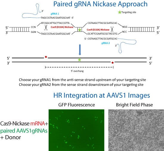 Cas9 SmartNickase mRNA is used to knock-in GFP to the AAVS1 Safe Harbor Site