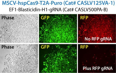 Two-Vector Cas9-Lentiviruses efficiently knockout stable RFP reporter gene