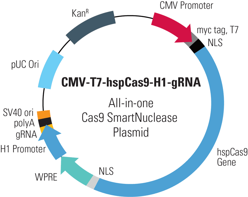 CMV-T7-hspCas9-H1-gRNA All-in-one Cas9 SmartNuclease Plasmid
