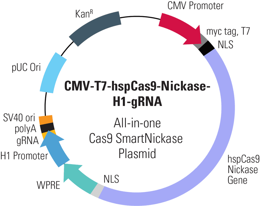 CMV-T7-hspCas9-Nickase-H1-gRNA All-in-one Cas9 SmartNickase Plasmid