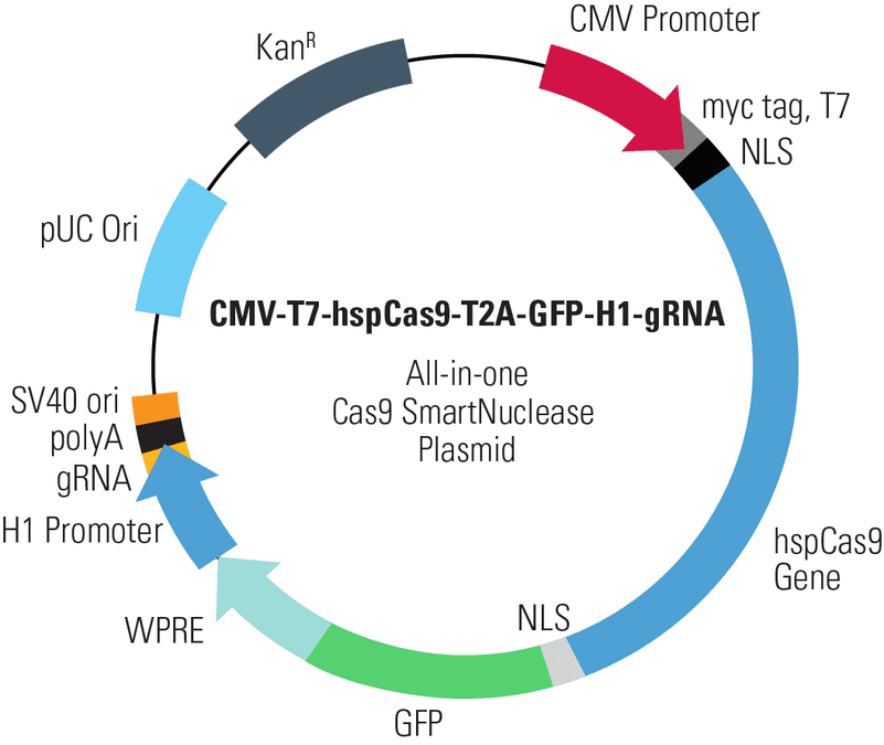 CMV-T7-hspCas9-T2A-GFP-H1-gRNA All-in-one Cas9 SmartNuclease Plasmid