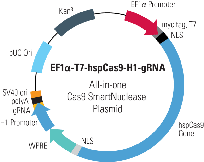 EF1α-T7-hspCas9-H1-gRNA All-in-one Cas9 SmartNuclease Plasmid
