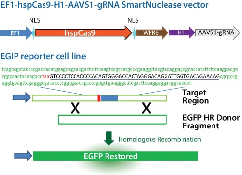 The Cas9 SmartNuclease Genome Editing Positive Control Kit.