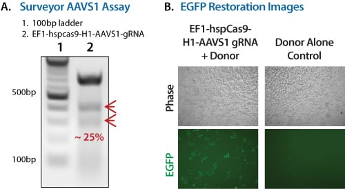Restoring GFP fluorescence with the Cas9 SmartNuclease Genome Editing Positive Control Kit.