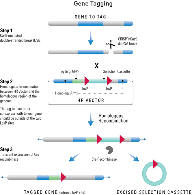 Using an HR Donor Vector and the CRISPR/Cas9 System to tag a gene
