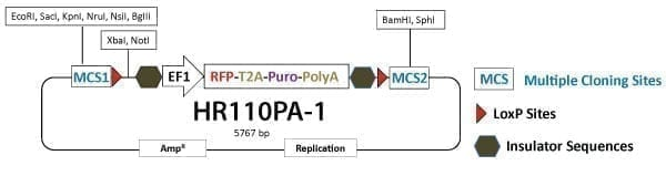 PrecisionX Gene Knock-out HR Targeting Vector (MCS1-EF1α-RFP-T2A-Puro-pA-MCS2)