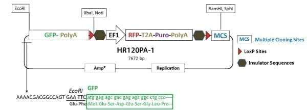 PrecisionX Gene Tagging HR Targeting Vector (GFP-pA-LoxP-EF1α-RFP-T2A-Puro-pA-LoxP-MCS)