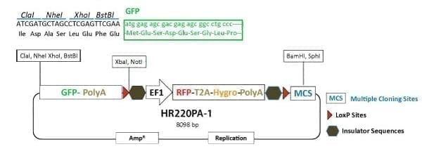 PrecisionX Gene Tagging HR Targeting Vector (GFP-pA-LoxP-EF1α-RFP-T2A-Hygro-pA-LoxP-MCS)