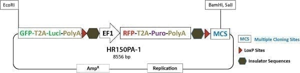 PrecisionX Gene Tagging HR Targeting Vector (GFP-T2A-Luc-pA-LoxP-EF1α-RFP-T2A-Puro-pA-LoxP-MCS)