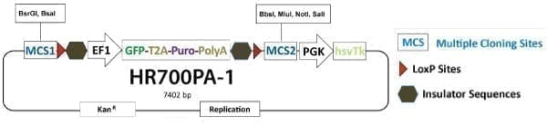 PrecisionX Gene Knock-out HR Targeting Vector (MCS1-EF1α-GFP-T2A-Puro-pA-MCS2-PGK-hsvTK)