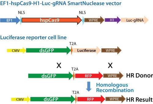 Schematic for using an All-in-one Cas9 SmartNuclease Plasmid for gene replacement
