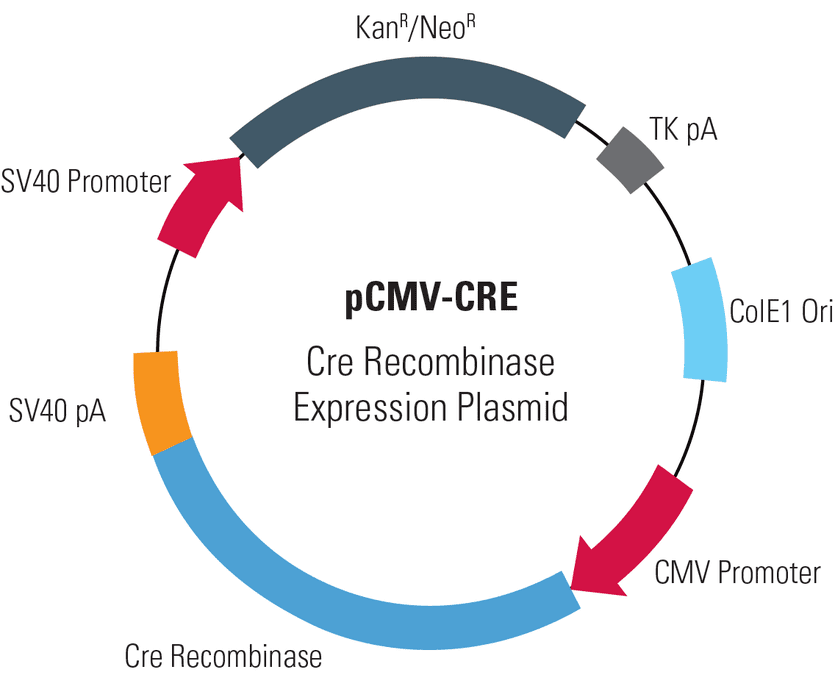 pCMV-CRE, Cre Recombinase Expression Plasmid