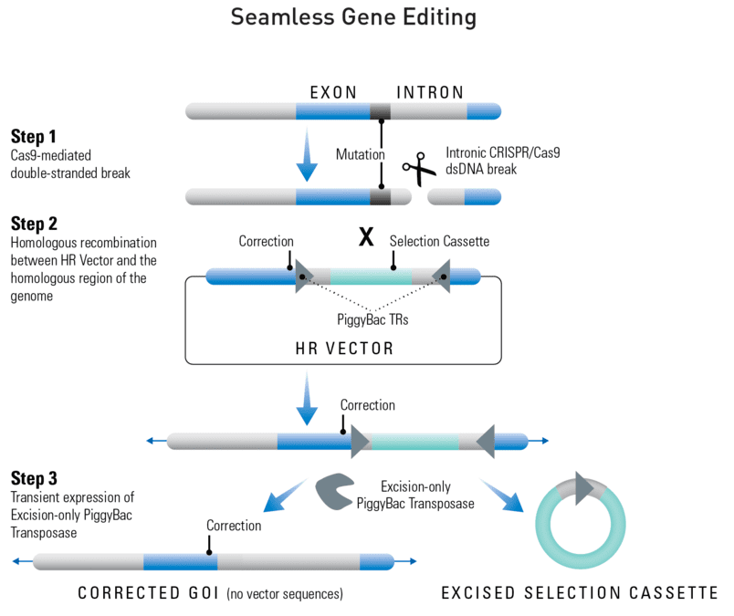 Seamless gene editing with the Excision-only PiggyBac Transposase