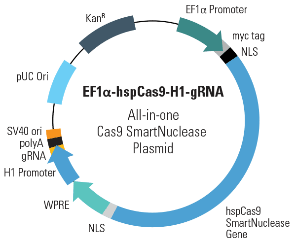 EF1α-hspCas9-H1-gRNA All-in-one Cas9 SmartNuclease Plasmid (circular)
