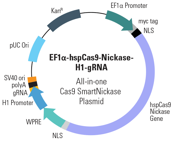 EF1α-hspCas9-nickase-H1-gRNA All-in-one Cas9 SmartNickase Plasmid (circular)