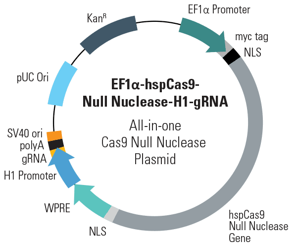 EF1α-hspCas9-DM-H1-gRNA All-in-one Cas9 Null Nuclease Plasmid (circular)