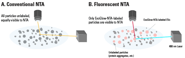 ExoGlow-NTA dye only binds to the membranes of intact EVs