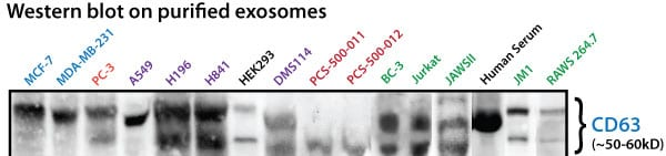 All purified exosomes are checked for the presence of CD63.