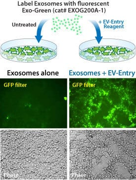 The EV-Entry System increases the delivery of Exo-Green to recipient cells