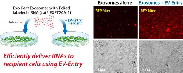 The EV-Entry System increases the delivery of Exo-Red exosomes to recipient cells