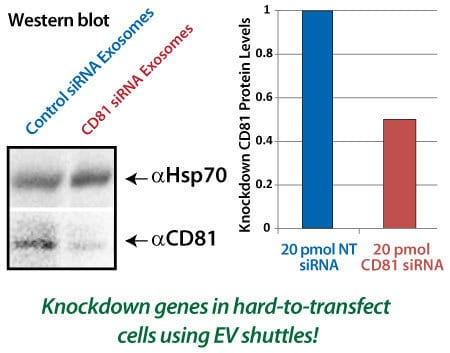 siRNA delivered by EV Shuttles is functional