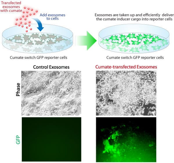 Exo-Fect transfects the small molecule cumate into exosomes