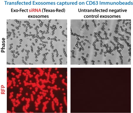 Exo-Fect efficiently loads siRNA into exosomes.