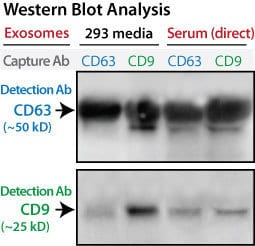Western Blot showing selective immunopurification using Exo-Flow96 IP Kits