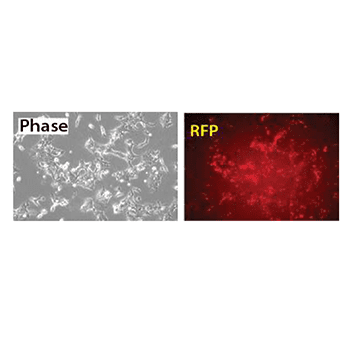 The XMIR Texas Red-labeled Positive Control Oligo efficiently labels recipient cells with Texas Red