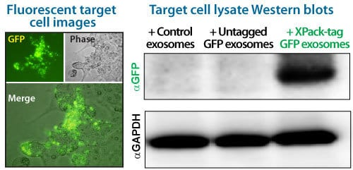 XPack-GFP exosomes deliver GFP to target cells
