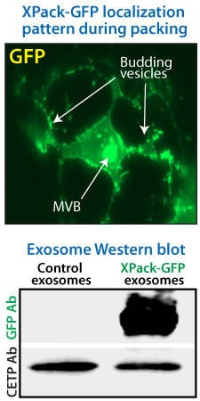 XPack efficiently packages GFP into exosomes