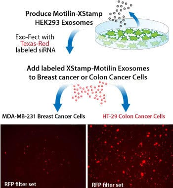 XStamp-motilin targets exosomes to GI cells.