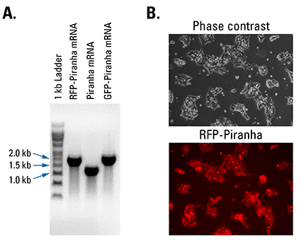 Piranha Electroporation-ready mRNA is pure and efficiently delivered and translated inside cells
