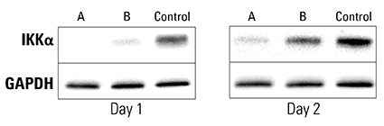 Double Reporter Piranha HEK293T Cells electroporated with anti-IKKα antibody show complete and near-complete ablation of IKKα after one day