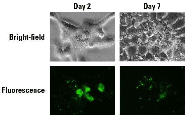 ExoGlow-Protein signal is stable for up to at least 7 days after administration of labeled EVs to cells