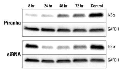 Piranha mRNA and antibody efficiently reduce protein levels at a faster rate than corresponding siRNA