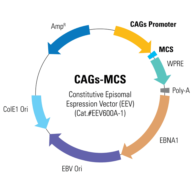 CAGs-MCS Enhanced Episomal Vector (EEV)